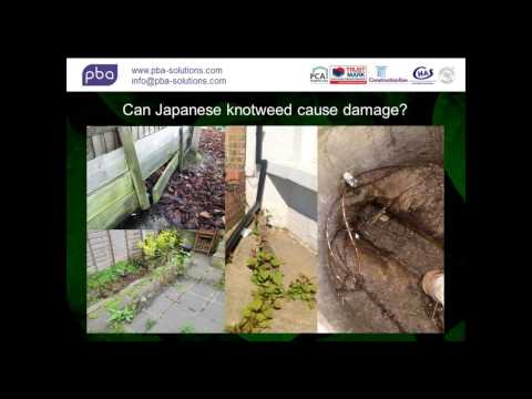 Dealing with Japanese Knotweed, the facts!