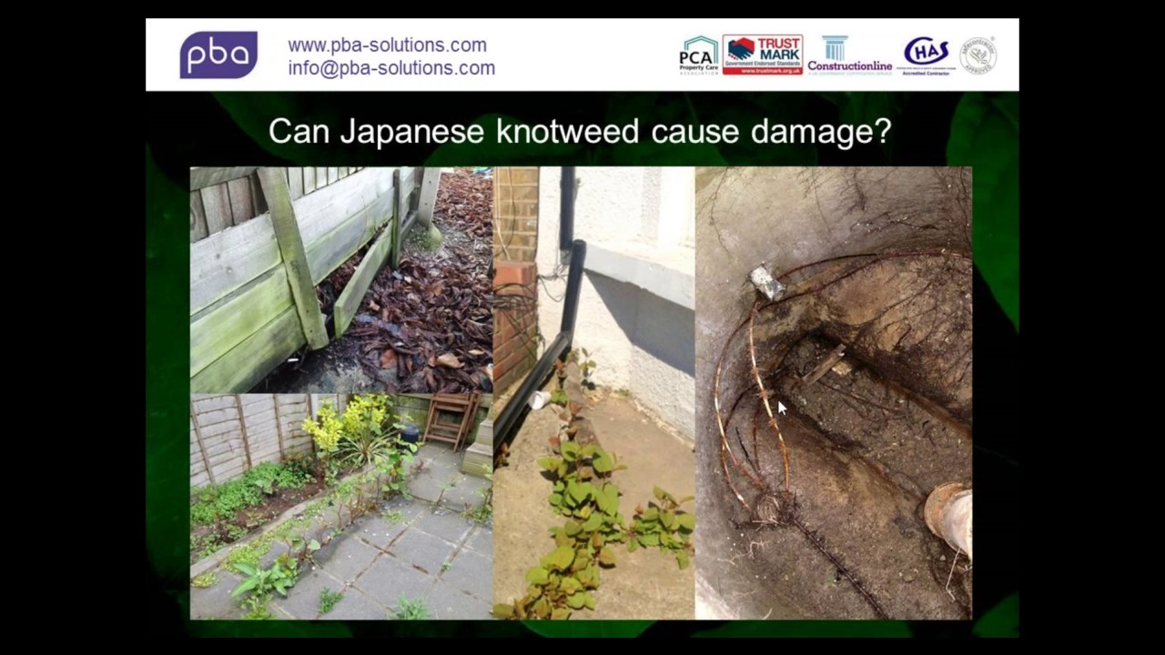 Dealing With Japanese Knotweed The Facts Youtube