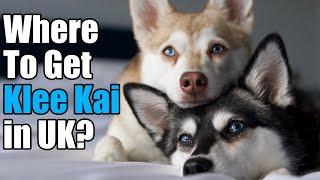 Klee Kai UK Breeders   Where To Buy Klee Kai in UK