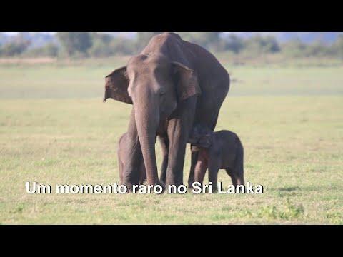 AFP Português: Elefantes gêmeos | AFP