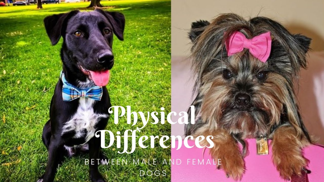 Physical Differences Between Male And Female Dogs Youtube