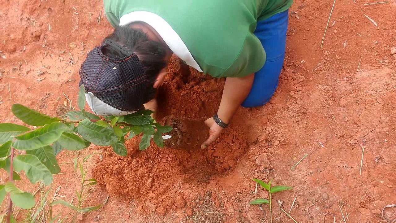 Monte o seu pomar plantando mudas frutíferas  YouTube