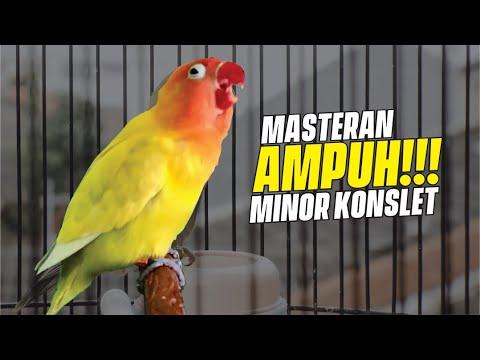 Masteran Suara Konslet Minor Jantan Ampuh
