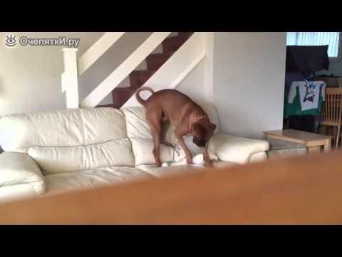 видео приколы как собаки одни дома