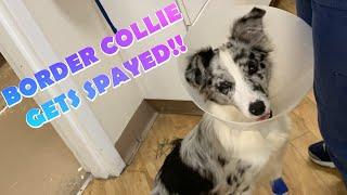 Border Collie Gets Spayed!