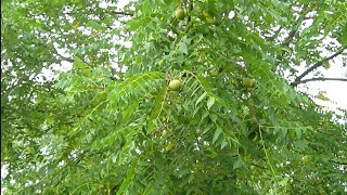BLACK WALNUT TREES STARTED FROM SEED UPDATE