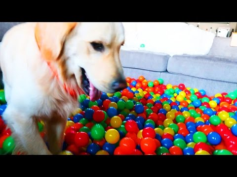 GOLDEN RETRIEVER VS BALL PIT (Super Cooper Sunday #80)