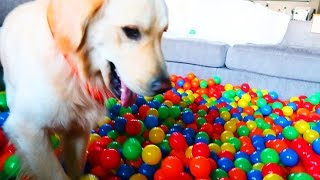 golden retriever vs ball pit super cooper sunday 80