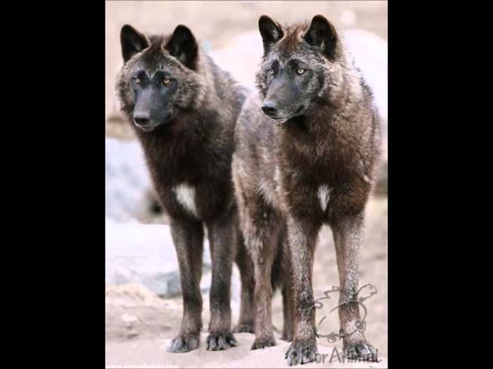 Just 89 of these Alaskan wolves remain, but are they endangered?