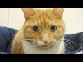 cute cat has serious look / 【猫 かわいい】猫の真剣な表情が、かわいい
