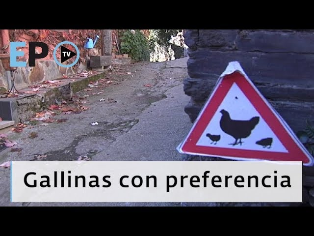 El Progreso TV ► Gallinas con preferencia
