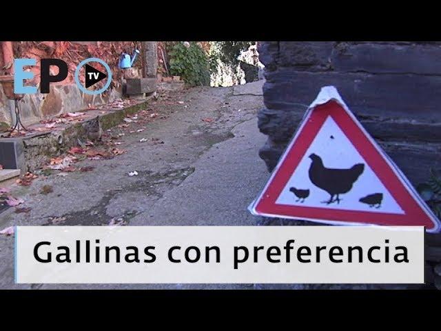 El Progreso TV ► Gallinas con preferencia