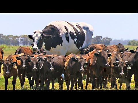 Эта корова до сих пор продолжает расти! Что будет дальше...