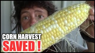 Trespassers CAUGHT Stealing From Our Sweet Corn Harvest