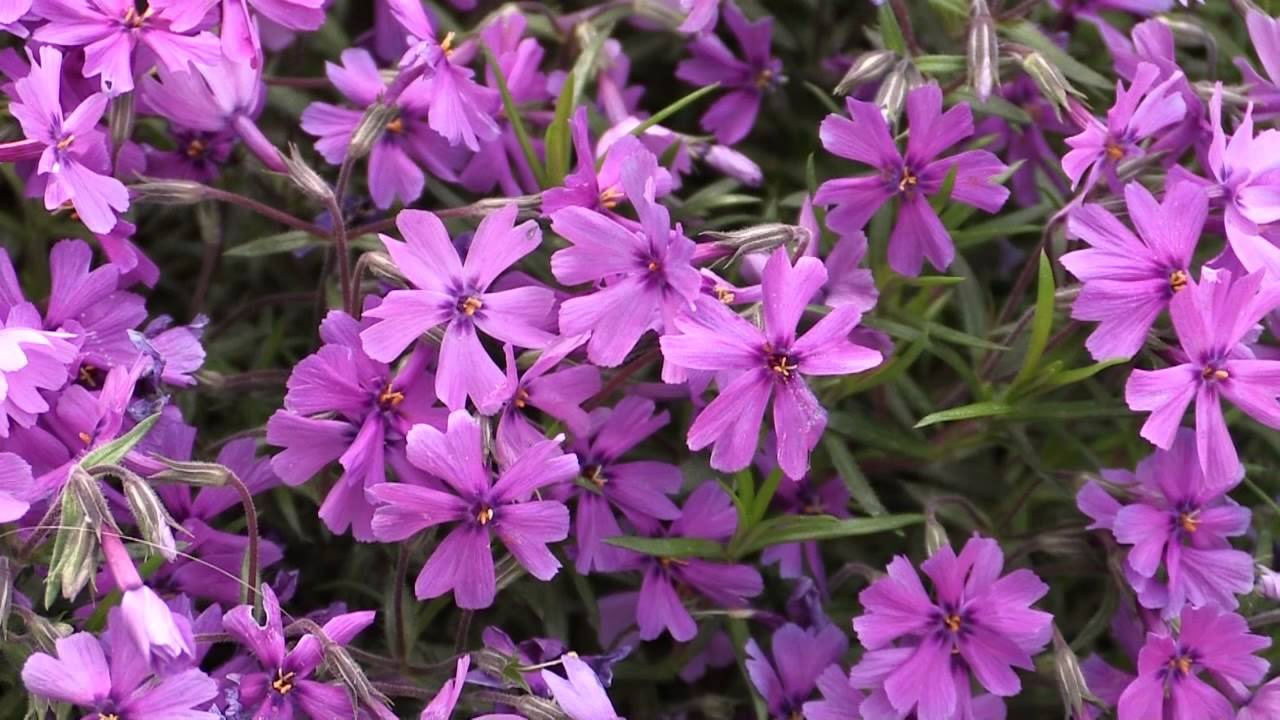 phlox subulata polster phlox creeping phlox youtube. Black Bedroom Furniture Sets. Home Design Ideas