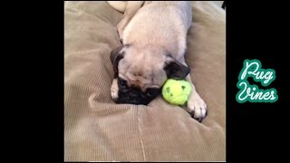2013 Cute Pug Vines Of 2013 Part 1