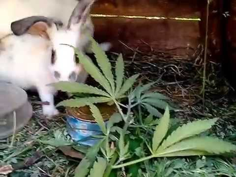 Кормить кроликов конопля конопли посевной выращивание