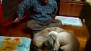 大きい秋田犬・瑠宇奈と北海道犬クースケ大格闘!仔犬のクースケがんば...