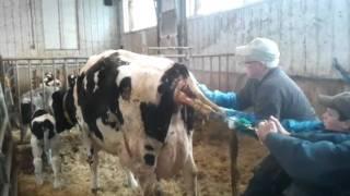 New Born Calf