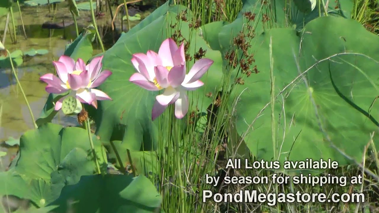 How to plant a lotus youtube - How To Plant A Lotus Youtube 13