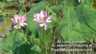 Growing Lotus, Pink Lips Large Lotus in Pond Video