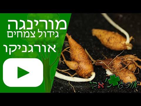 מורינגה - עץ אכיל - גידול צמח - אורגניקו