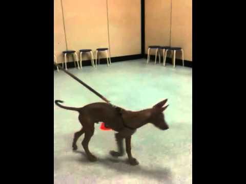 Ramses with Scott Robillard at puppy School