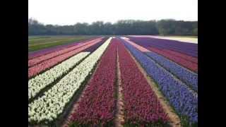 HOLLAND, FLOWERFIELDS - BOLLENVELDEN, HILLEGOM, VOGELENZANG