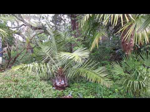 Jubaea chilensis Palms in Canada