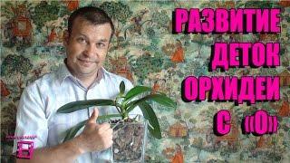 Развитие деток орхидеи после обработки цитокининовой пастой. #Орхидеи(Это видео в продолжение роликов по размножению орхидей фаленопсис. В нем рассказывается о развитие деток..., 2016-05-30T18:31:43.000Z)