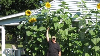 How to Grow Mammoth Sunflowers: Part 2