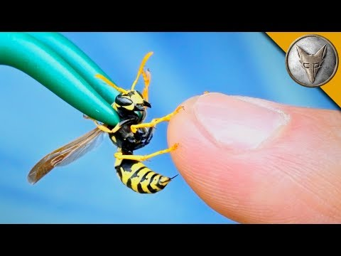 Thumbnail: STUNG by a YELLOW JACKET!