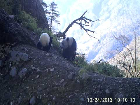 Baby Panda & Mom Caught on Camera | WWF