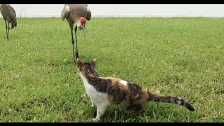 Feeding the Florida Cranes with our Cat