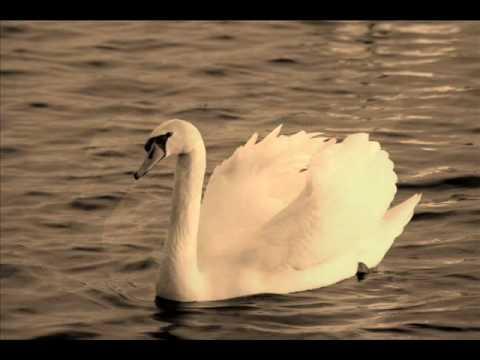 Pablo Casals - The Swan