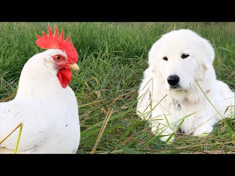 You Want This Dog Guarding Your Birds | Maremma Livestock Guardian Dog