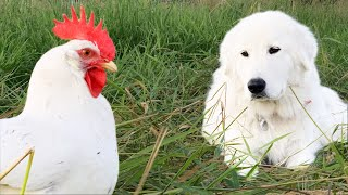 You Want This Dog Guarding Your Birds | Maremma Livestock Guardian Dog