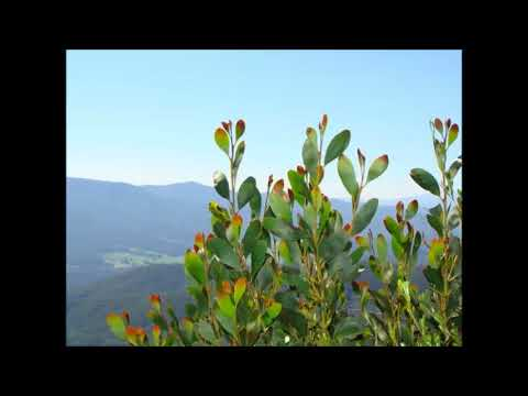 YUNG DRUGG-ACACIA PHLEBOPHYLLA(PROD  THE MARTIANZ)