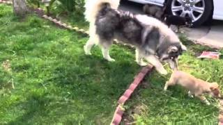 Husky, Aussie And Pom Playing With Pups!