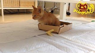 トイレ中からずっとニャーニャー可愛い 茶トラ子猫2日目 Cute cat video: Toilet training thumbnail
