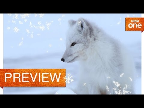 A snow fox transformation - Life in the Snow : Preview - BBC One