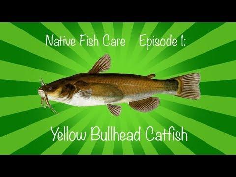 Native Fish Care Episode 1: Yellow Bullhead Catfish
