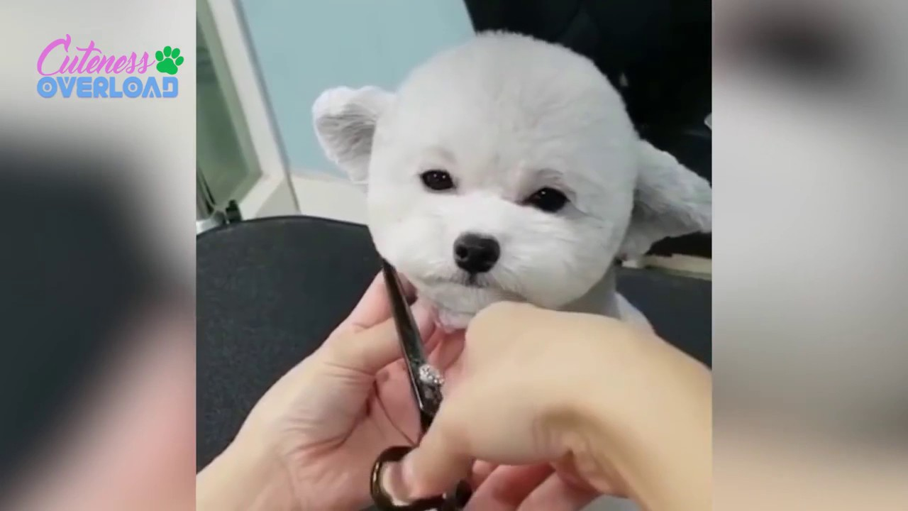 Adorable And Cutest Dogs Gets Grooming Haircut Cuteness Overload