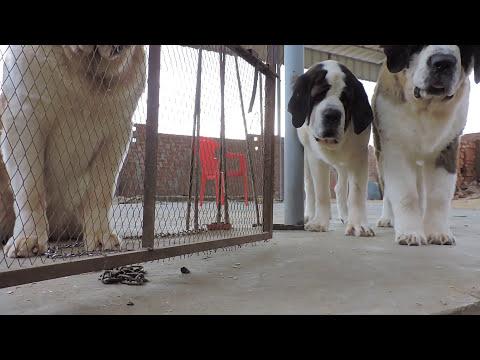 Saint Bernard puppies @ Yousof Giants Cairo @ Facebook