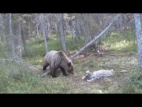 Росомаха,медведь,волк на фотоловушку(Unique
