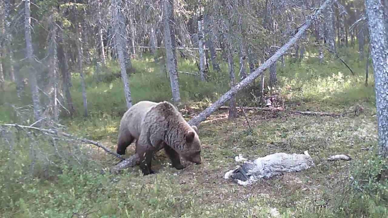 Росомаха,медведь,волк на фотоловушку (Unique video)