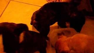 Laredo Texas Bull Terrier