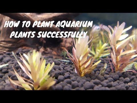 HOW TO PLANT AQUARIUM PLANTS SUCCESFULLY