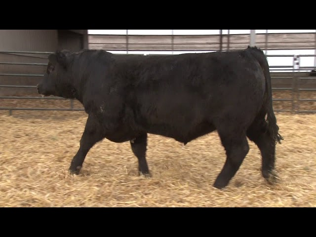 Schiefelbein Angus Farms Lot 66
