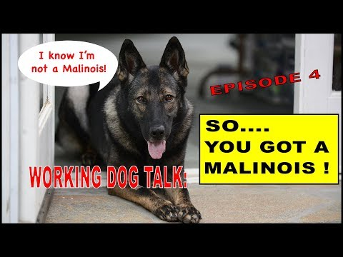 Malinois and Working Line Dog Questions #4 - Robert Cabral - Dog Training